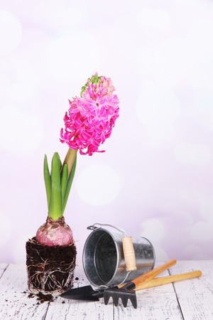 Pink hyacinth with bucket and garden tools on table on bright background photo