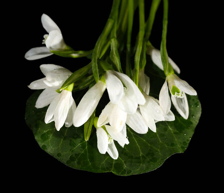 Beautiful snowdrops, isolated on black photo
