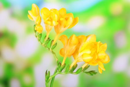 Beautiful freesias on green nature background