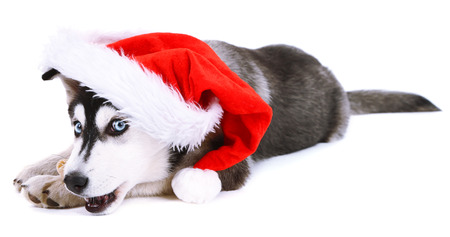 pet new years new year pup: Beautiful cute husky puppy with Santa hat, isolated on white Stock Photo