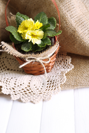 Yellow primrose in  wicker basket, on wooden table, on sackcloth background photo