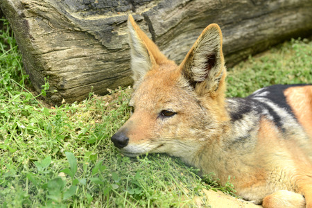 Jackal at zoo photo