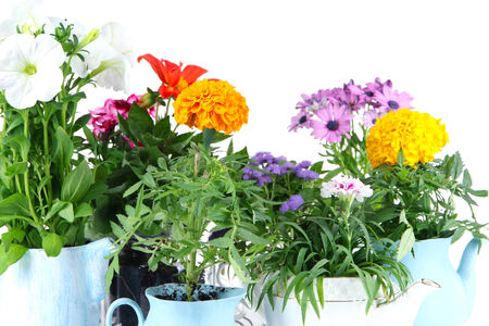 Flowers in  decorative pots isolated on white photo