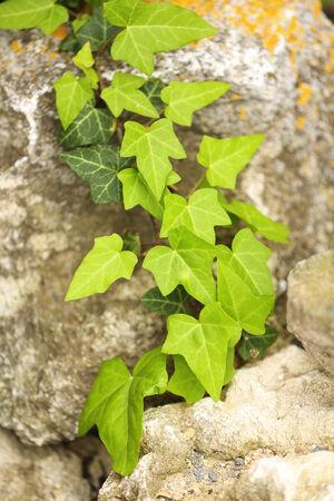 creeping plant: Green ivy, close up