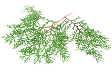 Thuja branch isolated on white photo