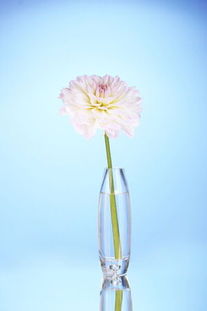 Beautiful white dahlia in glass vase on blue background close-up photo