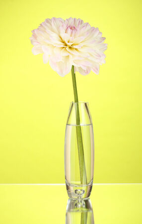 Beautiful white dahlia in glass vase on green background close-up photo