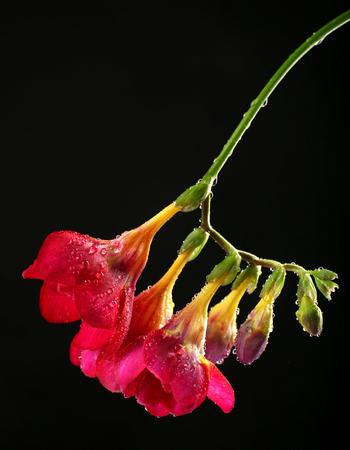 freesia: Delicate freesia flower on black background Stock Photo
