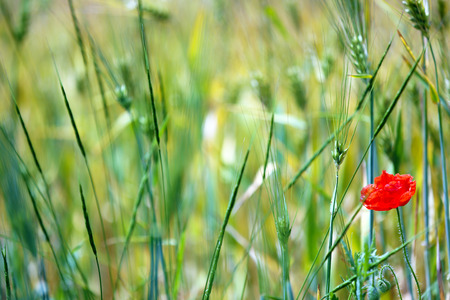 Beautiful poppy flower in field photo
