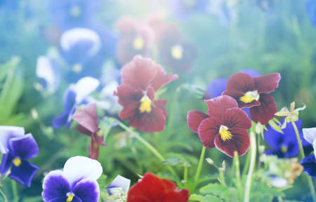 violets: Beautiful colorful violets, outdoors