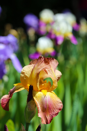 Beautiful irises, outdoors photo