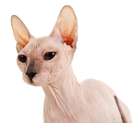 Sphynx haarloze kat geïsoleerd op wit