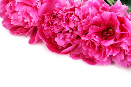 Beautiful pink peonies, isolated on white photo