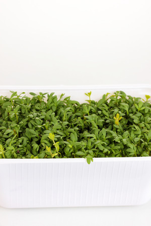 Fresh garden cress in white plastic box close-up isolated on white photo