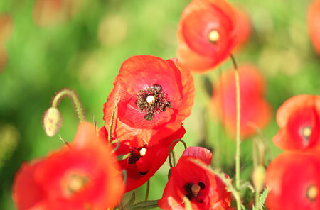 fineart: Meadow with beautiful bright red poppy flowers in spring
