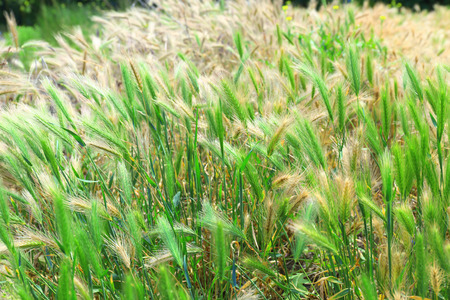 spikelets: Green spikelets, outdoors