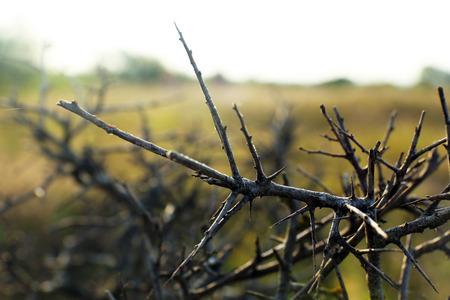 thorn bush: Thorn bush, outdoors