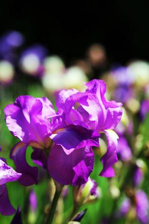 Beautiful irises, outdoors photo