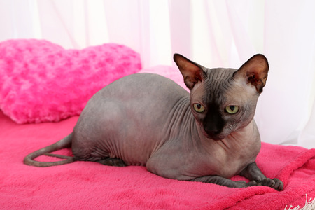 Beautiful gray sphinx cat relaxing on plaid in room photo