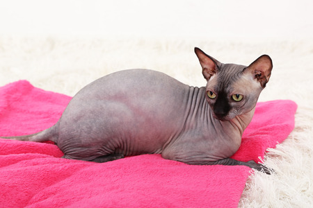 Beautiful gray sphinx cat relaxing on plaid in room Stock Photo