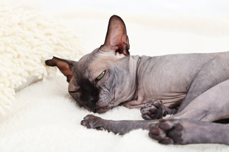 Beautiful gray sphinx cat relaxing on bed photo