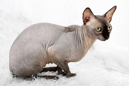 Beautiful gray sphinx cat on carpet in room photo