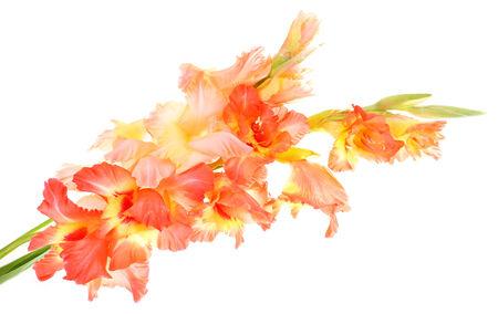 beautiful gladiolus flowers, isolated on white photo