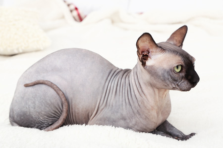 Beautiful gray sphinx cat relaxing on bed