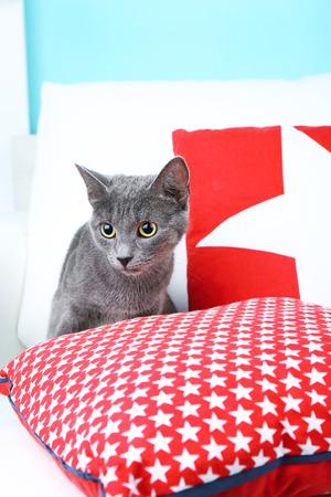Grey cat on sofa on blue background photo