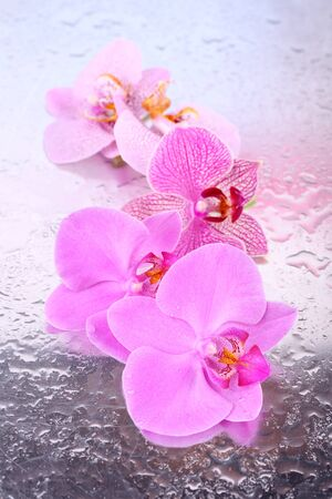 Yellow tropical orchid flowers isolated on white photo