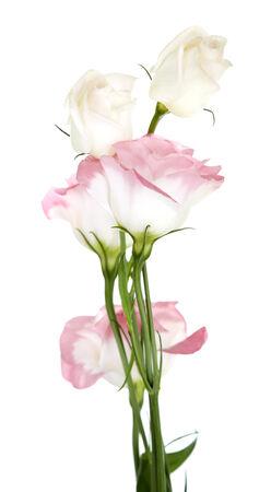 Beautiful eustoma flowers, isolated on white photo