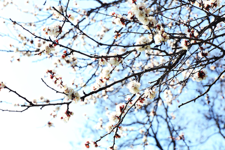 Blooming apricot tree twigs in spring close up photo