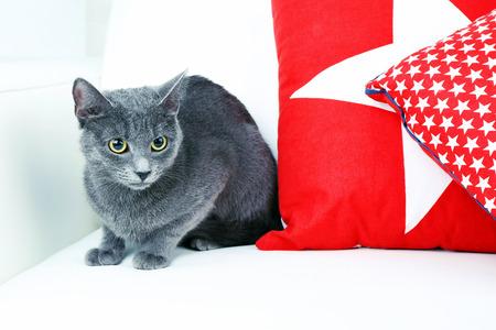 grey cat: Grey cat on sofa closeup