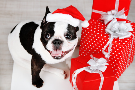 pets: French bulldog with Santa hat and presents on sofa in room Stock Photo