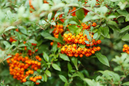 ashberry: Ashberry with leafs, close-up Stock Photo