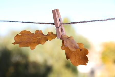 clothespeg: Oak leaves hanging on rope on natural background Stock Photo