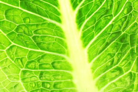 green cabbage: Green cabbage leaf background