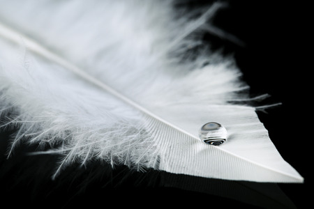 animal background: Beautiful feather with water drop on black background Stock Photo