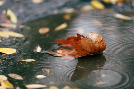 rain forest background: Autumn leaf in puddle Stock Photo