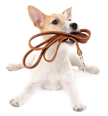 Funny little dog Jack Russell terrier with leather leash, isolated on white Stockfoto