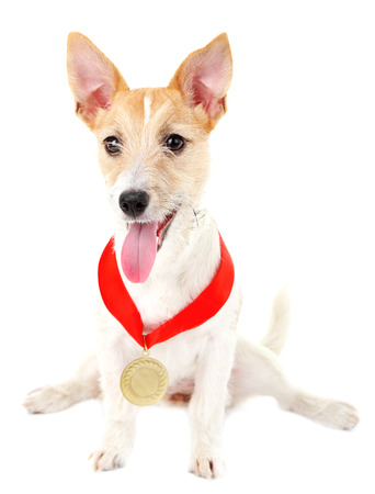 Funny little dog Jack Russell terrier with gold prize winning medal, isolated on white