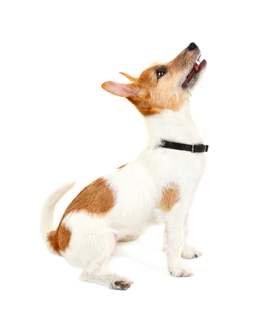 Funny little dog Jack Russell terrier, isolated on white Stock Photo