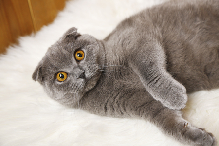 Lying British cat on fur rug on wooden background Stock Photo