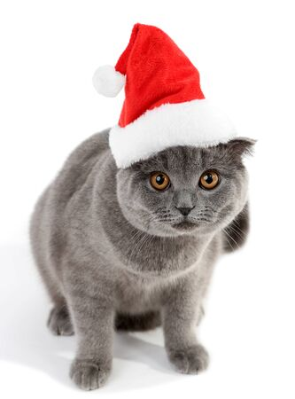 Lovely British cat in Christmas hat isolated on white Stock Photo