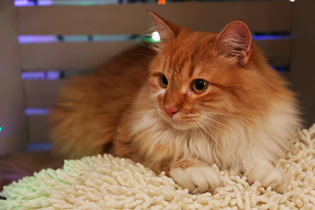Red cat on pillow no wooden floor and Christmas decoration background Stock Photo