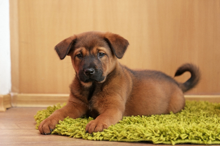Cute puppy lying on carpet in room