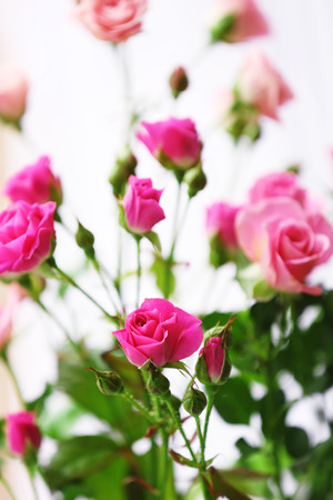 Beautiful pink roses on bright background