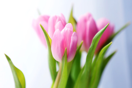Beautiful pink tulips on light background Stock Photo