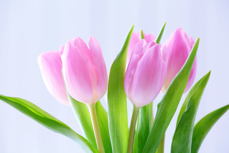 Beautiful pink tulips on light background Imagens