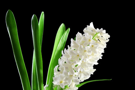 Beautiful white hyacinth on black background Zdjęcie Seryjne